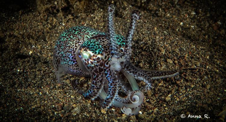 Bobtail Squid @ Jemeluk Night dive