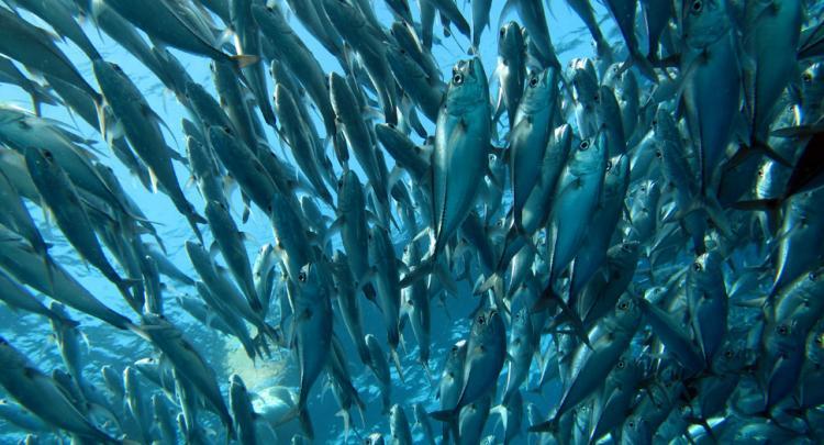 Jackfish @ Coral Garden - Tulamben